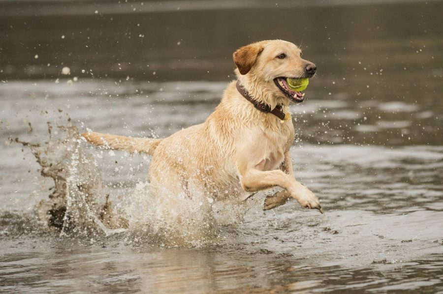 Yellow labrador running with ball in mouth