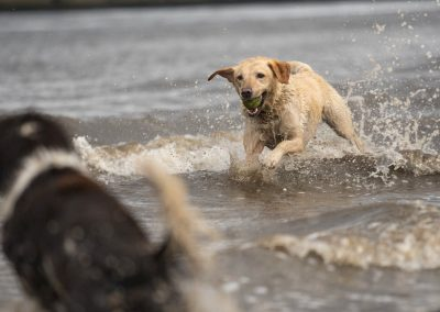 Roxy running through the River Clyde