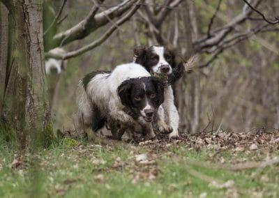 Spaniels in woodland