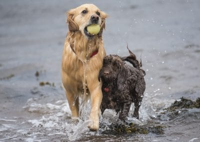 Golden retriever and cockapoo