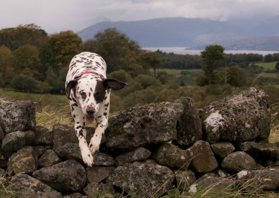 Lola jumps over an old wall in Langbank
