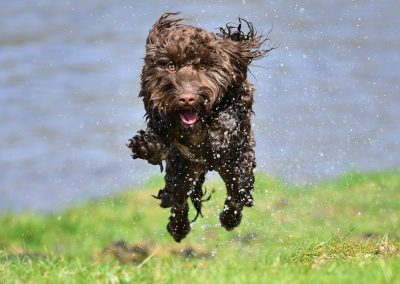 cockapoo jumping
