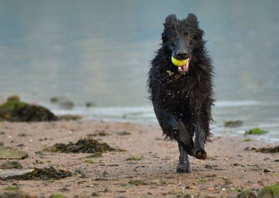 GSD running with ball