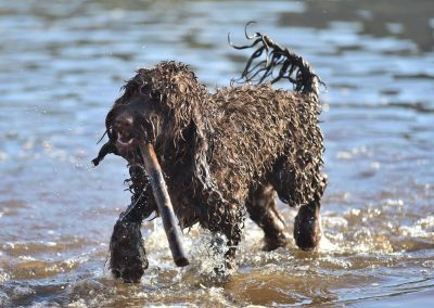 cockapoo with stick