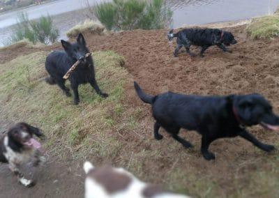 dog walking dogs