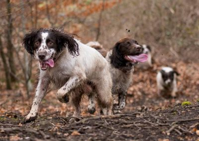 Dexter and the spaniels in the woods