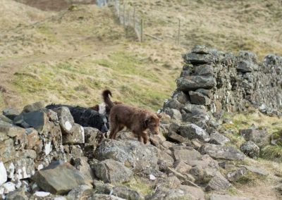 The dogs pass over an old fallen wall