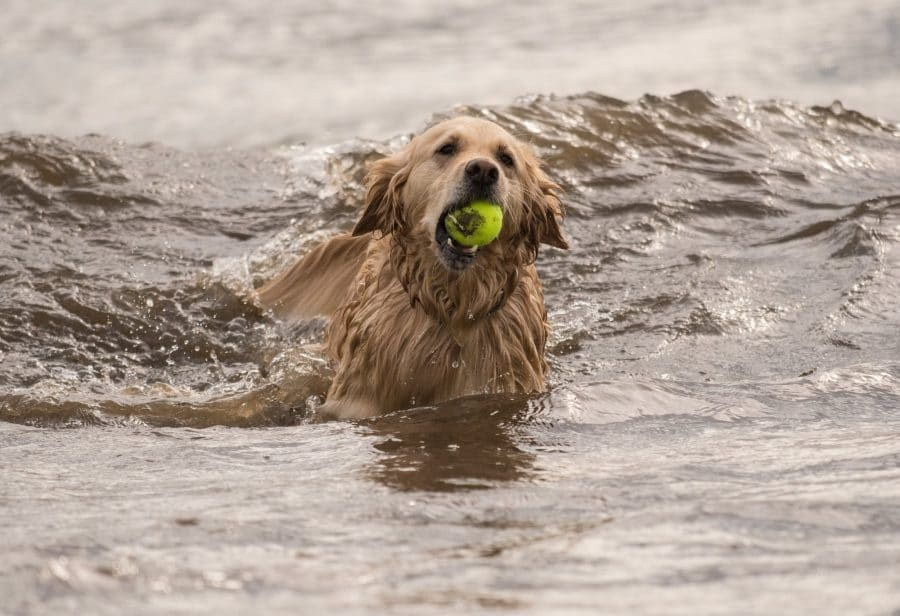 dog in river clyde