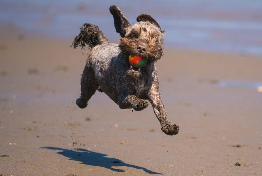 happy cockapoo