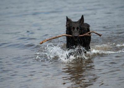black german shepherd with stick