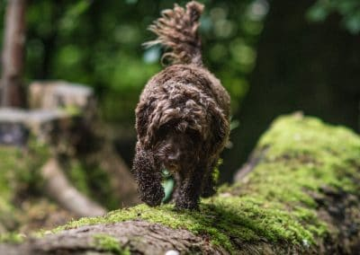 Cockapoo on a fallen tree
