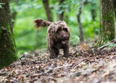 Cockapoo on woodland floor
