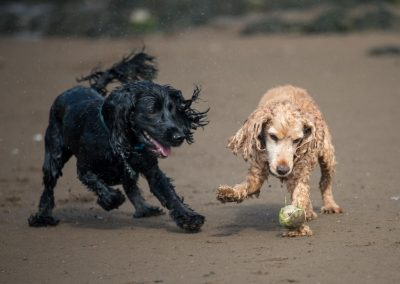 two cocker spaniels with ball