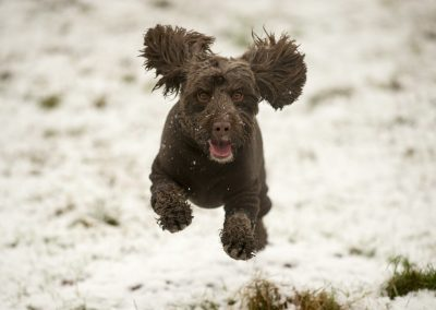 cockapoo in snow