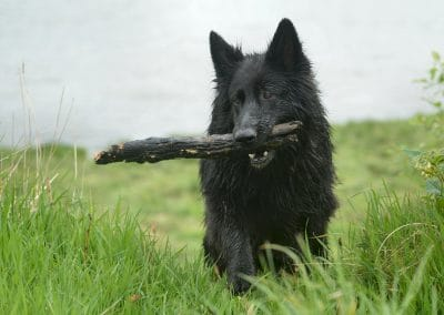 Black GSD carrying stick