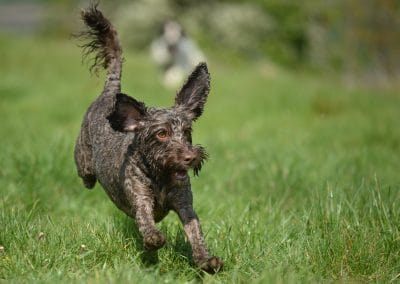Brown cockapoo running
