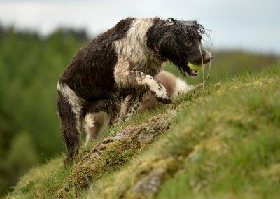 springer spaniel climbing hill