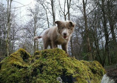 young collie in woods