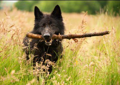 Black german shepherd in long grass