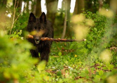 black german shepherd in woods