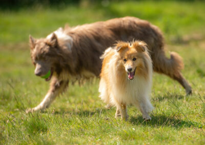 sheepdog and border collie