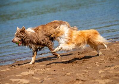 Shetland sheepdog chasing border collie