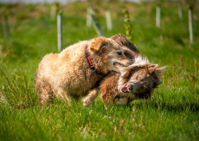 Dogs playing in grass wrestling