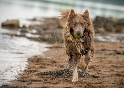 Lilac border collie running with ball
