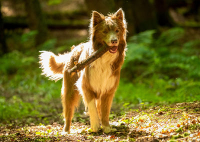 lilac border collie carrying a stick