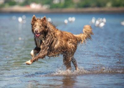 Lilac Border Collie running on beach