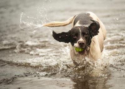 springer spaniel with ball
