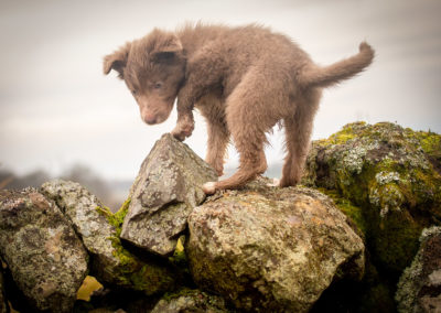 lilac-border-collie-puppy