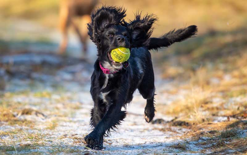 cockapoo puppy running