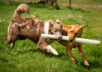 young dogs carrying stick