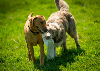 dogs playing tugowar