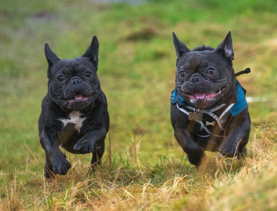 french bull terriers