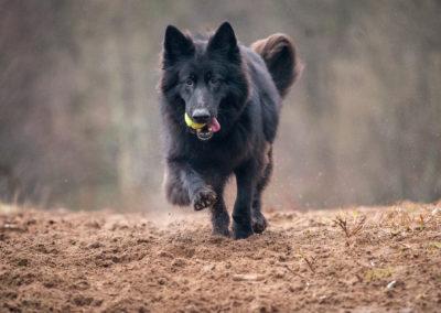black german shepherd with long coat