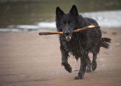 black gsd with stick