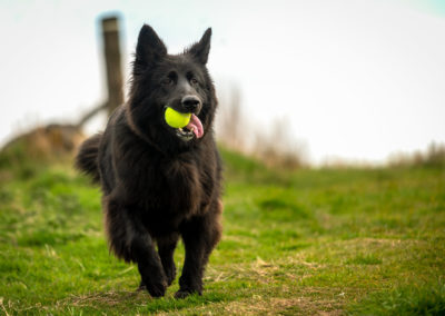 black gsd with ball