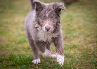 tiny-lilac-border-collie-puppy