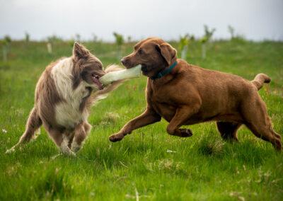 Lilac border collie playing tug o war with chocolate labrador